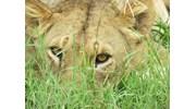 Lioness in Maasai Mara
