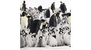 Antarctica Emperor Penguins