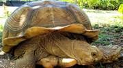 Kaui Tortoise