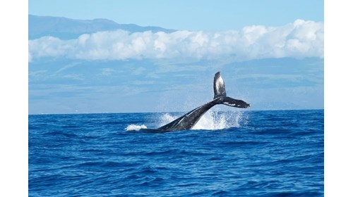 Maui - Whale watching capital!