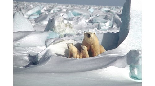 A mama polar bear and her cubs