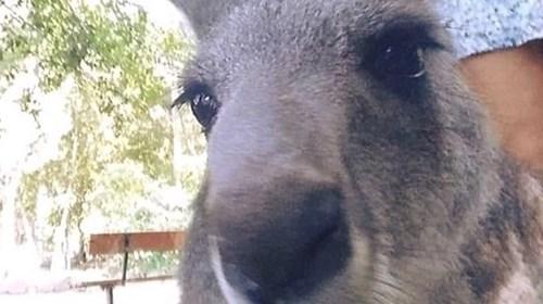 Kangaroo in the Queensland area
