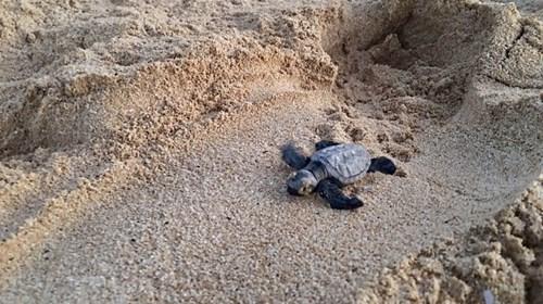 Baby Hawaiian Sea Turtle