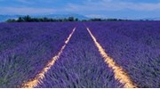 Provence Lavendar