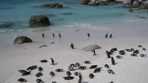 African Penguins at Boulder's Beach
