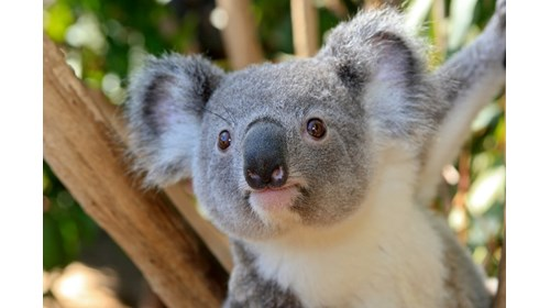 Meet Koalas in Australia