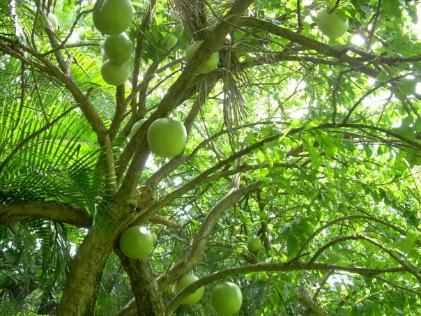 One of a kind fruit tree