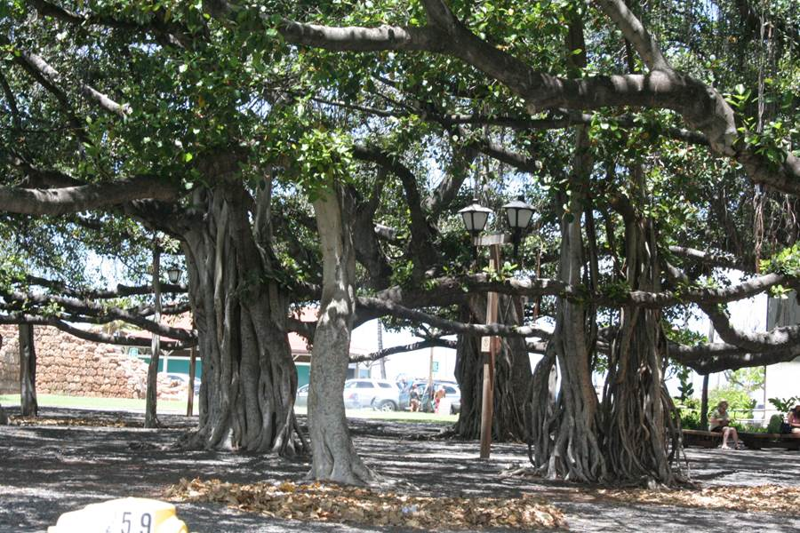 Banyan tree in Lahaina Court Park in Maui