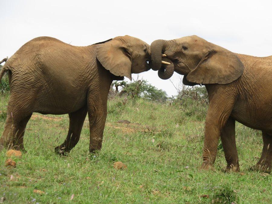 Elephants jockeying for power