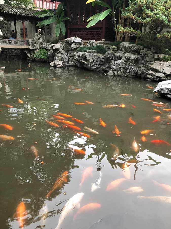 Yu Garden koi, Shanghai