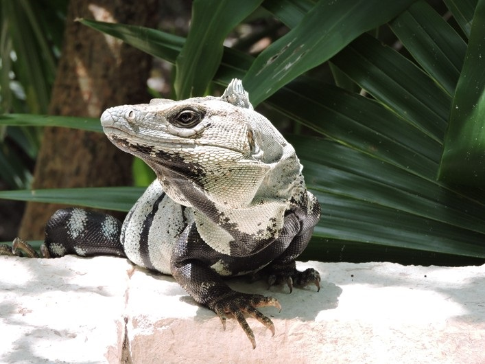Disinterested iguana.