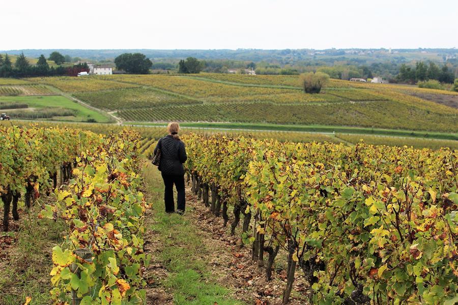 Vineyards in the Sauternais region of Bordeaux