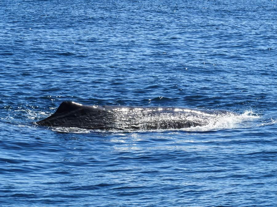 sperm whale seen while on Whale Watch Kaikoura tou