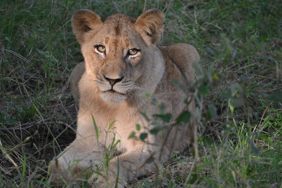 Lioness on safari drive