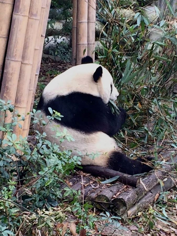 Panda Reserve - Chengdu China