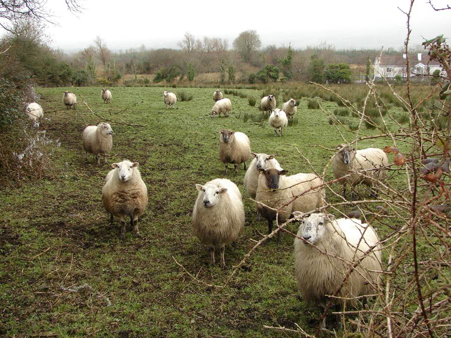 Sheep near Sligo