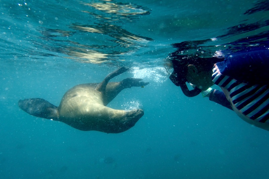 Snorkel with sea lion puppies