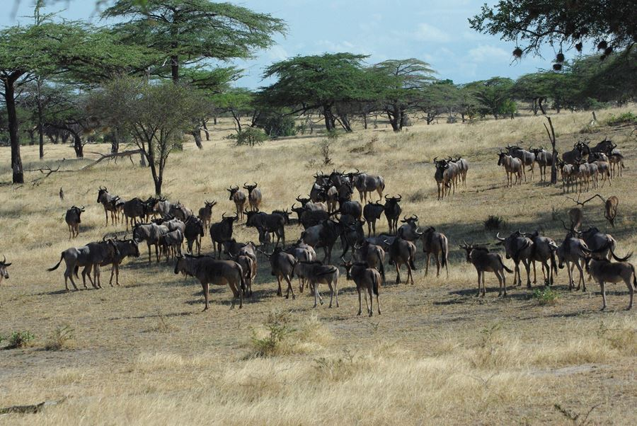 wildebeest grazing near a lake