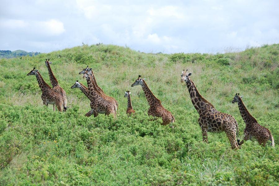 School of Giraffes