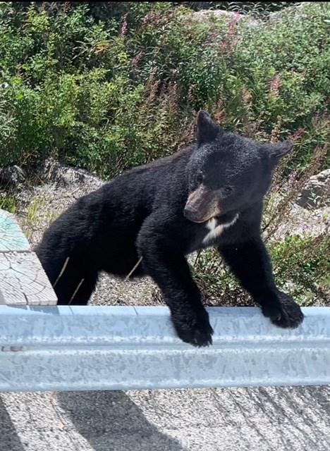 Bear Siting