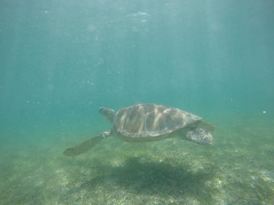 Akumal- Turtle
