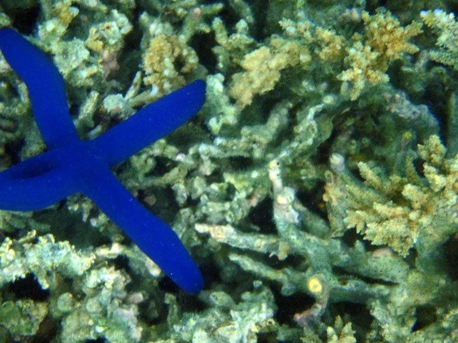 snorkeling - Blue starfish