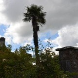 Palm trees in Ireland