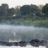 Sleepy hippos in morning mist - South Africa.