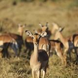 Curious impala - taken in Botswana.