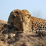 Beautiful male leopard - taken in South Africa.