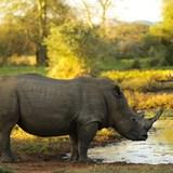 White rhino at watering hole - Zimbabwe.