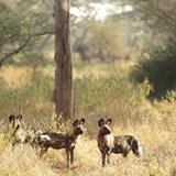 The endangered African Wild Dog - Zimbabwe.
