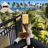 Alpaca Sighting - Punta Cana!