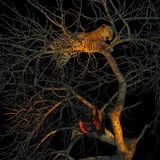 Lepoard and Kill in tree
