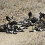 Wild Dog lpuppies