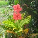 Fiji Flora
