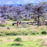 Watching Cheetah Brothers Hunt