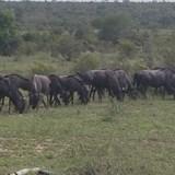 Herd of Wildebeast