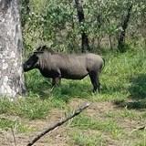 Pumba...is that you visiting my safari lodge?