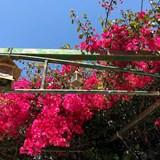 A beautiful flowering shrub.