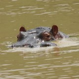 Hippo peeking out of the water