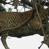 Leopard up in the tree