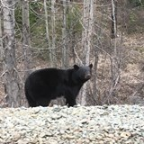 Bear sighting from the Train!