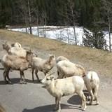 Our fury friends in Jasper