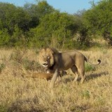 Lions in the Selinda Reserve, Botswana