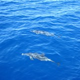 Dolphins in the St. Lucia waters.
