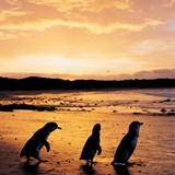 Sunset with the penguins on Philip Island