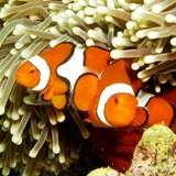 True Clownfish, Great Barrier Reef