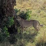 cheetah in the wild! Amazing!