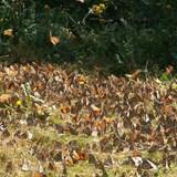Beautiful Monarch Butterlfies